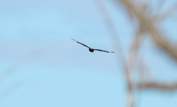 And this is the closest I've come to take a picture of a hawk so far.