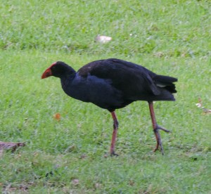 Pukeko, stupidest bird on these islands