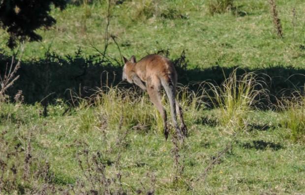 Camera shy kangaroo